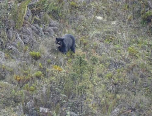 Monitoreo del oso de anteojos ABVP Collay